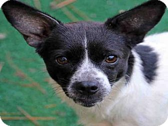 Chihuahua Mix Dog for adoption in Fort Walton Beach, Florida - COLLETTE