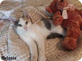 Calico Kitten for adoption in Fullerton, California - Malania