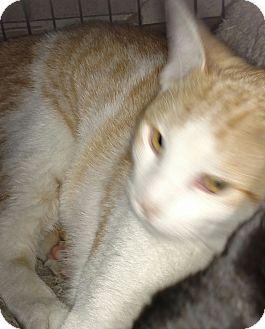 Domestic Shorthair Cat for adoption in Yuba City, California - Mork