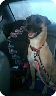 Black Mouth Cur/German Shepherd Dog Mix Dog for adoption in Normal, Illinois - Sage