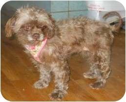 Poodle (Miniature)/Chihuahua Mix Dog for adoption in dewey, Arizona - Alex