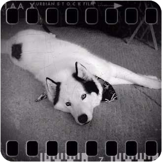 Husky Dog for adoption in Belleville, Michigan - Loki