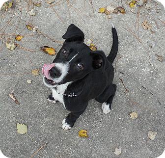 Border Collie/Labrador Retriever Mix Puppy for adoption in Ormond Beach, Florida - Peppermint Patti