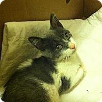 Domestic Shorthair Kitten for adoption in Binghamton, New York - Bobbles