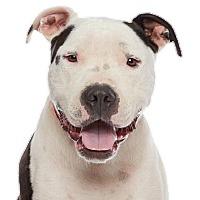 Adopt A Pet :: Duke - Los Angeles, CA
