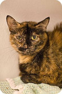 Domestic Shorthair Cat for adoption in Grayslake, Illinois - Torta