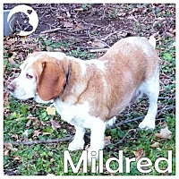Adopt A Pet :: Mildred - Novi, MI