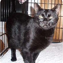 Photo 2 - Domestic Shorthair Cat for adoption in Germansville, Pennsylvania - Darla