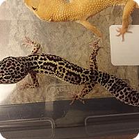 Adopt A Pet :: Number Twelve, a leopard Gecko - Bristow, VA