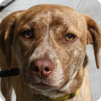 Adopt A Pet :: Thor - Brooklyn, NY
