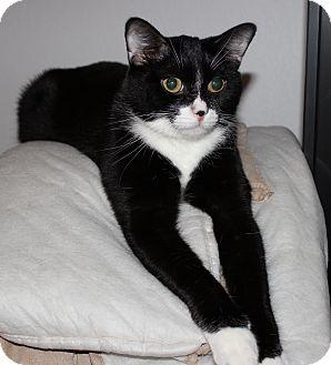 Domestic Shorthair Cat for adoption in Garland, Texas - Felix (boy)