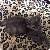 Adopt A Pet :: Stormy - Scottsdale, AZ