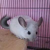 Chinchilla for adoption in Granby, Connecticut - Henry