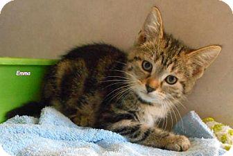 Domestic Shorthair Kitten for adoption in Oskaloosa, Iowa - Emma