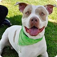 Pit Bull Terrier Mix Dog for adoption in Long Beach, California - Rolando