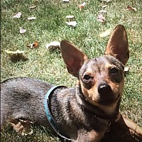 Chihuahua Mix Puppy for adoption in Hainesville, Illinois - Gunner