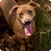 Adopt A Pet :: Bentley - greenville, SC