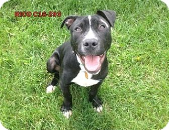 Pit Bull Terrier Mix Dog for adoption in Tiffin, Ohio - Rico