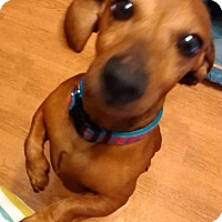 Dachshund Dog for adoption in Humble, Texas - Ollie