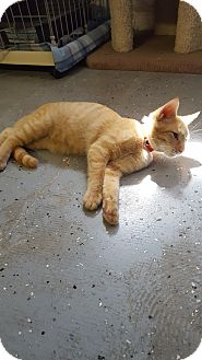 Domestic Shorthair Kitten for adoption in Phoenix, Arizona - LUKE