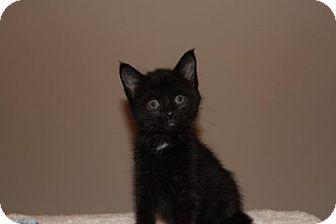 Domestic Mediumhair Cat for adoption in Albertville, Minnesota - Shadow