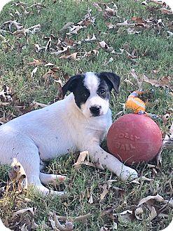 Labrador Retriever Mix Puppy for adoption in Burlington, Vermont - Gabe (see video)