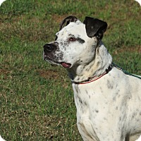 Dalmatian Mix Dog for adoption in Marble Falls, Texas - Mitzi