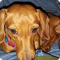 Dachshund Dog for adoption in Humble, Texas - Penny Lane