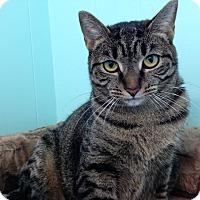 Adopt A Pet :: Klondike - Fairfax, VA