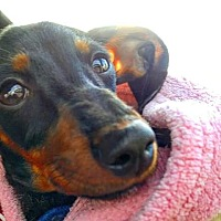 Adopt A Pet :: Octavia - Henderson, NV
