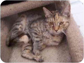 Domestic Shorthair Cat for adoption in El Cajon, California - Dahlia