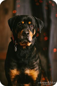 Rottweiler Dog for adoption in Portland, Oregon - Charlie