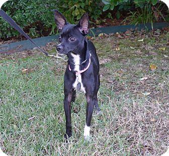 Gisele Adopted Dog North Little Rock Ar Italian Greyhound Chihuahua Mix