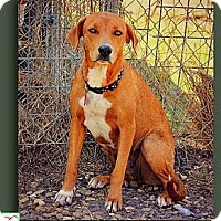 Vizsla/Treeing Walker Coonhound Mix Dog for adoption in Eddy, Texas - Liza