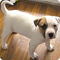 Adopt A Pet :: *Sterling - PENDING - Westport, CT