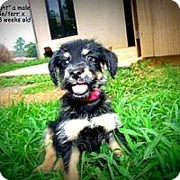 Adopt A Pet :: Midnight - Gadsden, AL