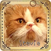 Adopt A Pet :: Stevie (front paw de-claw) - Beverly Hills, CA