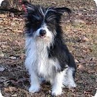 Adopt A Pet :: Scooter - Brattleboro, VT