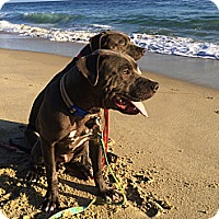 Adopt A Pet :: Yogi Bear - Dana Point, CA