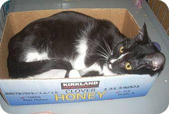 Domestic Shorthair Cat for adoption in Alamo, California - Little Honey