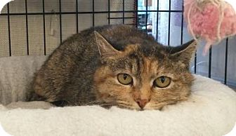 Domestic Shorthair Cat for adoption in West Babylon, New York - Miss Tish