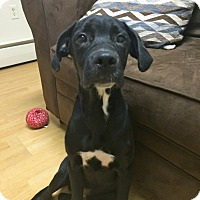 Adopt A Pet :: Anthony in CT - Manchester, CT