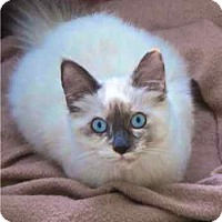Adopt A Pet :: Erin aka Little Ireland - Davis, CA