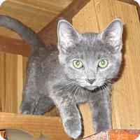 Adopt A Pet :: Samantha (Russian Blue mix) - Witter, AR