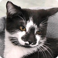 Domestic Shorthair Cat for adoption in Redondo Beach, California - Picasso