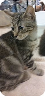 Domestic Shorthair Kitten for adoption in Alexis, North Carolina - Oakley