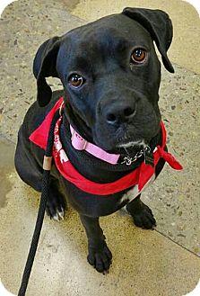 Boxer/Labrador Retriever Mix Dog for adoption in Tucson, Arizona - Raven