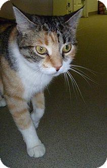 Domestic Shorthair Cat for adoption in Hamburg, New York - Dallas