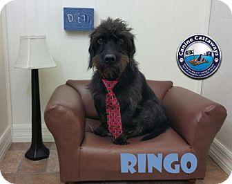 Dachshund Dog for adoption in Arcadia, Florida - Ringo