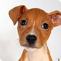 Adopt A Pet :: Brooke LabBox - St. Louis, MO